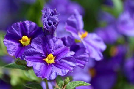 solanaceae: Solanum rantonnetii (Species: Lycianthes rantonnetii),  flowering plant in the family Solanaceae.  Stock Photo