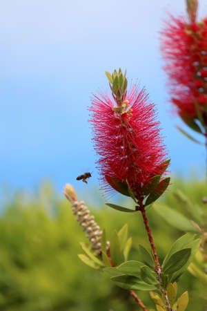 Callistemon is a genus of ornamental shrub in the family Myrtaceae Stock Photo