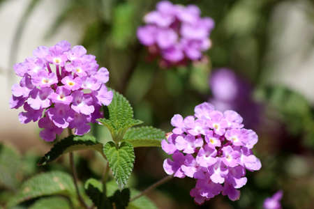 noxious: Lantana montevidensis, a small strongly scented flowering low shrub, cultivated as ornamental plant for its plentiful colorful lavender to purple flowers and as a drought tolerant groundcover, woody vine, and trailing plant