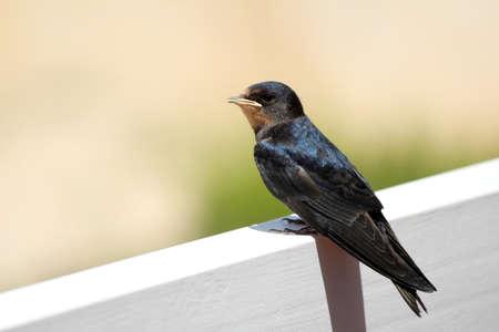 passerine: Giovane Martin Delichon urbicum, un uccello passeriforme migratore della famiglia rondine