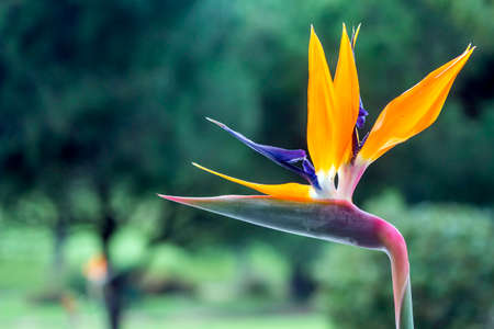 bird of paradise plant: Strelitzia reginae is a monocotyledonous flowering plant indigenous to South Africa. Most common names are Crane Flower or Bird of Paradise. Popular as ornamental lowmaintenance plant around the world including the Americas Madeira islands and Australia g