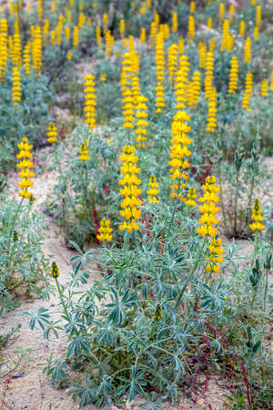 autochthonous: Lupinus luteus comunly  known as annual yellowlupin. A native plant to the Mediterranean region of Southern Europe. Occurs on mild sandy and volcanic soils in mining belts. The yellow seeds known as lupin beans were once a common food of the Mediterranean