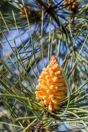 pinaceae: Stone pine Pinus pinea young cone detail the tree also called Italian stone pine umbrella pine and parasol pine is from the pine family Pinaceae Native to the Mediterranean region occurring in Southern Europe North Africa and the Levant.