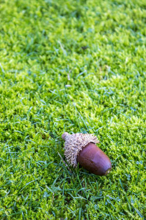 fagaceae: Acorns on a moss lawn . The acorn or oak nut is the nut of the oaks and their close relatives in this case Quercus suber species  native to southwest Europe and northwest Africa. Stock Photo