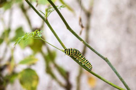 machaon: Papilio machaon butterfly caterpillar eating Ruta chalepensis plant.its the first transformation stage of The Old World Swallowtail a butterfly of the family Papilionidae. Stock Photo
