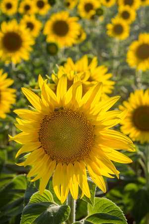 helianthus annuus: Sunflower Species Helianthus annuus crop landscape Andalusia. Southern Spain. The sunflower is an annual plant grown as a popular crop for its edible oil and edible fruits.
