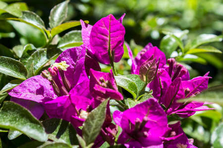 wordwide: Bougainvillea spectabilis flower detail. This species is native to Brazil Bolivia Peru and Argentina. Bougainvilleas are a genus of thorny ornamental vines bushes and trees with flowerlike spring leaves near its flowers wordwide used as ornamental plants. Stock Photo