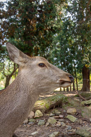 Deers in Nara Park, Japan. The deers, roam freely, are symbol of the city of Nara  and are considered in Shinto to be the messengers of the Gods. Banco de Imagens