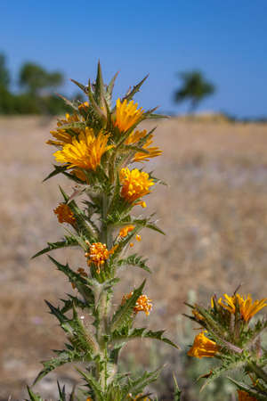 Species Scolymus hispanicus plant flower close-up, also known as Golden thistle or Spanish oyster thistle, an herbaceous native to south and west Europe growing to 80 cm tall, with spiny stems and lea