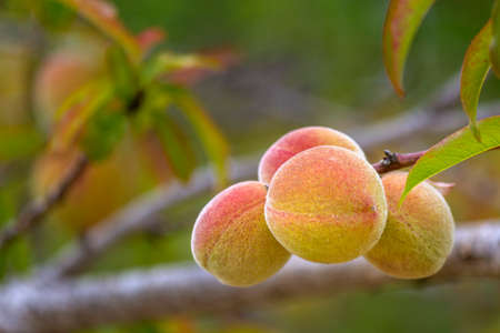 Growing peaches, species Prunus persica a deciduous tree native to Northwest China, where it was first domesticated, its name persica refers to its widespread cultivation in ancient Persia.