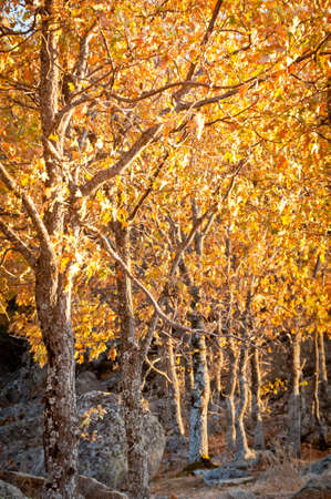 oak forest in full autumn with yellow leaves and sunset light shining on the branches