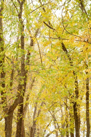 The branches of the black poplars with the green and yellowish leaves in full Autumn, they create a tunnel of precious color.