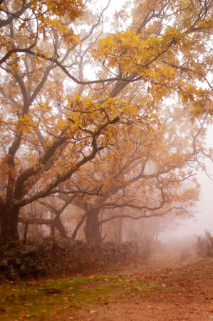 rural road in a grove of oak, in heavy fog on a fall day