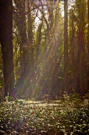 Beams of light crossing the glass of the trees in the forest Stock Photo - 15697198