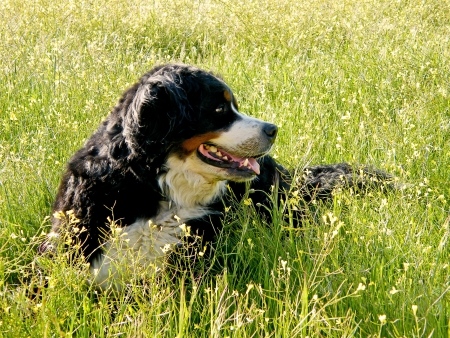 Bernese Mountain Dog portrait in flowers scenery photo