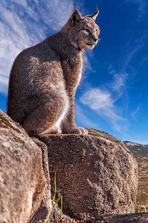 Iberian lynx sitting on a rock watching while sunbathing on a warm day Stock Photo
