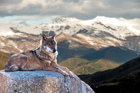 Iberian wolf lying on rocks on a snowy mountain watching while sunbathing on a warm day Stock Photo