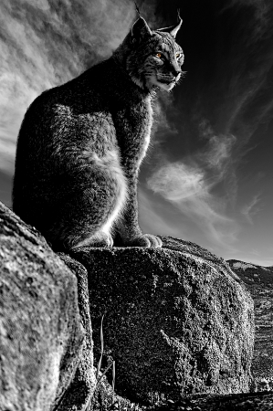 captivated: Iberian lynx sitting on a rock watching while sunbathing on a warm day- Black and white