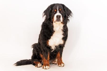 Bernese mountain dog sitting poses looking at camera photo