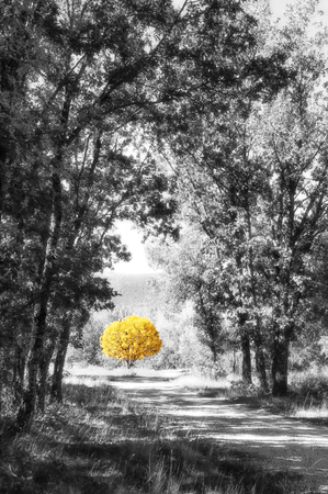 Yellow tree in the path of the forest in black and white a bright autumn day