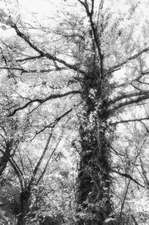 Black and white tree in autumn photo