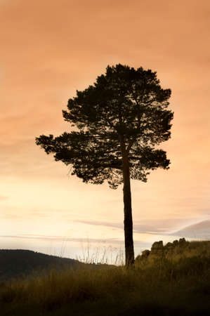 lone pine: Lone Pine on the hill at sunset