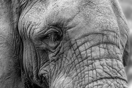 Close-up portrait of the face of an African elephant