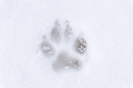 Dog footprint on the cold snow