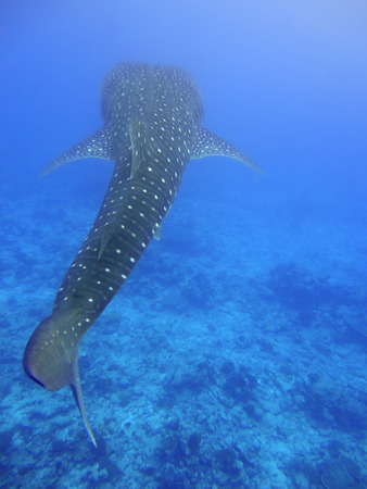 wide  wet: Whale shark soaring Through the big blue