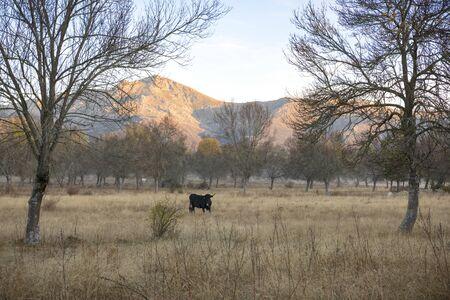 Cows in a meadow during a foggy dawn