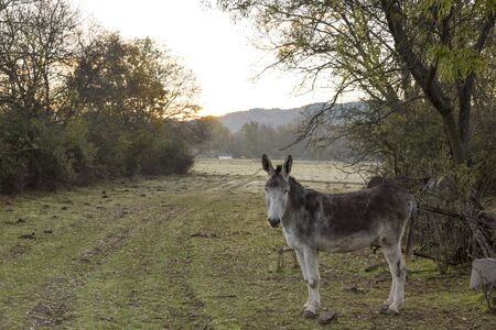 Donkey in a field at dawn Stock Photo