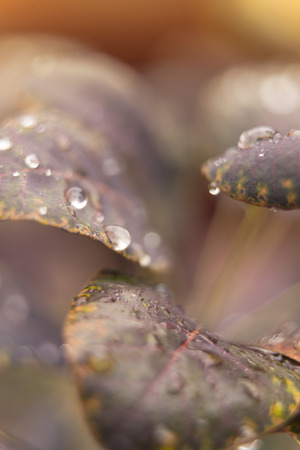 Water drop on magenta leaves. Abstract autumn background.