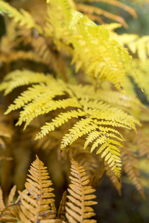 Autumn fern leaves in a sunny day. Abtrasct autumn background. Stock fotó