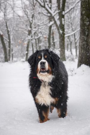 Bernse mountain dog portrait in winter. Stock fotó