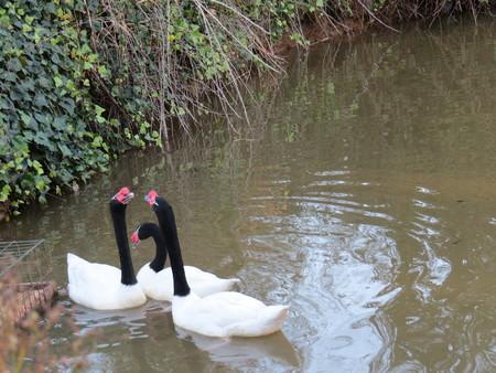 sentimental: Cisnes en Conflicto sentimental