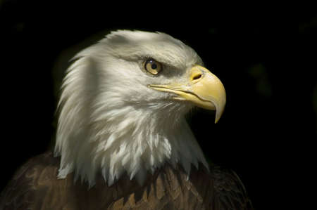 accipitridae: Head of a Bald Eagle with dark Background