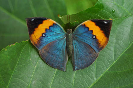 entomological: Tricolor Butterfly on green leaves Stock Photo
