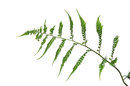 Fern leave isolated on a white background photo