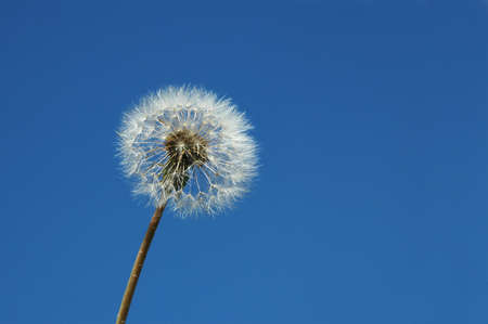 Dandelion close up isolated on a blue sky Stock Photo - 7772540