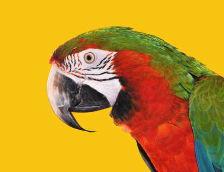 Parrot Red Blue Macaw isolated on a yellow background