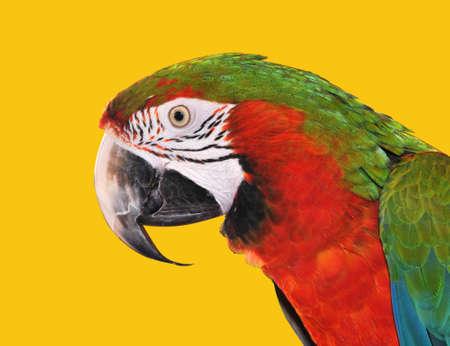 Papagei rot blau Ara auf gelbem hintergrund isoliert