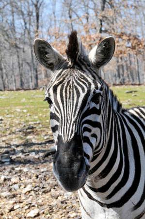 Portrait of African zebra Stock Photo - 7796532