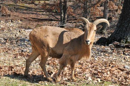 flink: Ziege in der wilden starrte