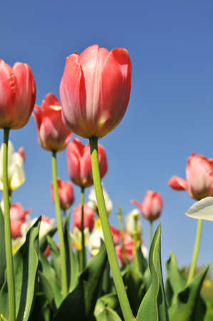 Tulips of various colors against a blue sky photo