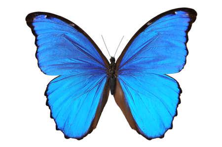mariposa azul: Mariposa (Morpho menelaus) en tonos azules aislado contra un fondo azul  Foto de archivo