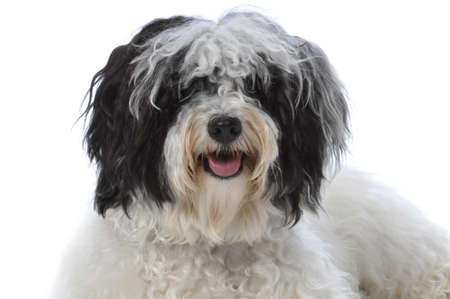 havanese: Portrait of a havanese dog isolated on a white background