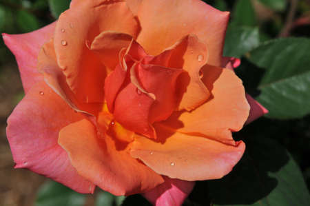 Pink rose close up on a sunny day