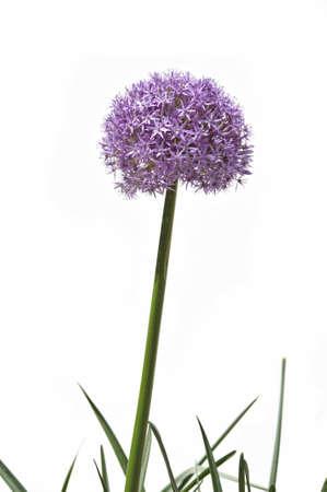 Giant allium flower isolated over black background photo
