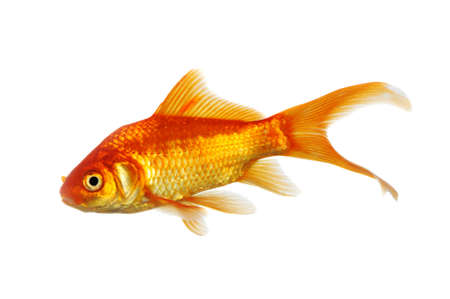Gold Fish side view isolated on a white background Stock Photo - 8023888