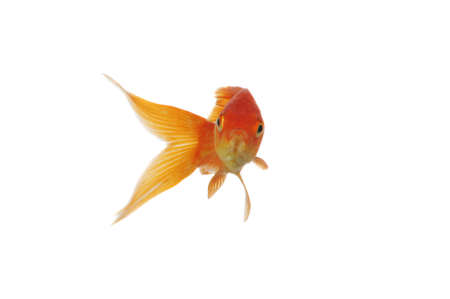 Sorted Gold Fish swimming isolated on a white background Stock Photo - 8023874